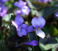 The legendary fragrant sweet violet: Viola odorata is often referred to as 'The King of Violets'.
