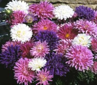 Ostrich Plume Mixed produces large, vigorous heads of flowers with attractively curled interlaced petals