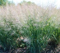 Panicum virgatum was originally taken up by German landscapers and gardeners.