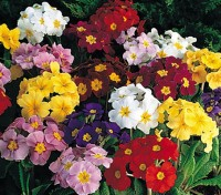 The 'Pacific Strain' of polyanthus produce fine and hardy plants that bear very large flowers on strong stems.