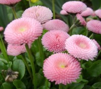 """Bellis """"Pomponette Rose"""" is widely cultivated and prized for it's long lasting early spring blooms."""