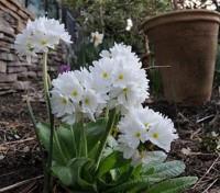 Primula denticulata var alba, 'White'