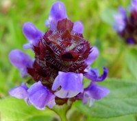 Prunella vulgaris is an interesting and quite beautiful little wildflower plant.