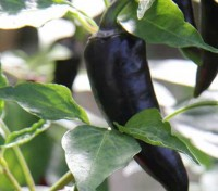 The 'Purple Jalapeño' is a beautiful, edible and very ornamental version of the standard Jalapeño pepper.
