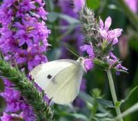 Lythrum salicaria 'Purple Loosestrife'