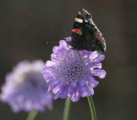 Scabiosa columbaria produces a mass of lilac-blue flowers, in round heads on long stalks.