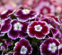 Sweet Williams are one of those lovely old-fashioned flowers, famous for their spicy-scent. The Auricula-eyed Group are irresistible.