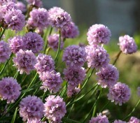 """Armeria maritima, our well-known little """"Thrift"""", which grows so happily on cliffs and seashores is also a very popular garden flower."""