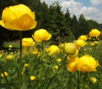 Trollius europaeus is a native wild flower of Europe and Western Asia. Found in damp ground in shady areas, woodland and scrub, pastures and woods in mountain areas.