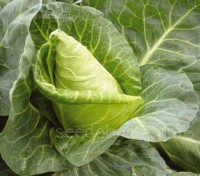 Cabbage 'Advantage F1' can be sown March through to September for summer and autumn crops, and sown in October to overwinter.