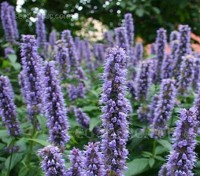Agastache foeniculum is a favourite plant of bees and gardeners alike, it is, perhaps one of the most gratifying plants you can grow.