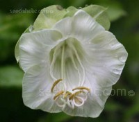 A favourite of many gardeners is the beautiful and fast-growing Cobaea scandens.