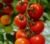 Alicante is superior variety possessing all the things we look for in a tomato,