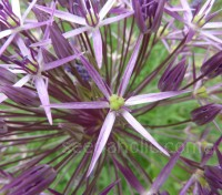 Allium christophii is the most flamboyant member of this enormous family of plants.