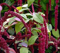 Amaranthus caudatus is the hanging or drooping amaranthus, the deep red variety also known as Love-Lies-Bleeding.