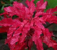 Amaranthus tricolour Early Splendour is grown for its beautiful foliage.