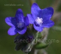 Noted for its deep sapphire-blue flowers that are extremely attractive to wildlife, Anchusa is a relative of borage.