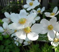 Affectionately known as the Snowdrop Anemone, Anemone sylvestris is a charming perennial with satiny white flowers.