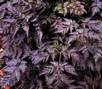 Anthriscus sylvestris 'Ravenswing' has stunning, rich deep purple, almost black, finely cut ferny foliage.