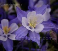 Aquilegia x hybrida, 'Blue Star'