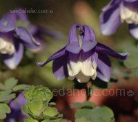 Mini-Star is a delightful dwarf cultivar with bright blue flowers with a white corolla and stands only 15 to 20cm tall.