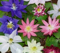 The extravagantly multi-petalled blooms with starburst points are quite different from any other columbines.