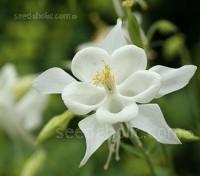 Aquilegia x hybrida, 'White Star'