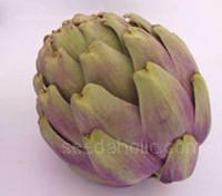 Artichoke 'Arad'  is a purple tinted variety with highly attractive fruit.