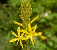 Asphodeline lutea is an easy to grow perennial that has great architectural form.