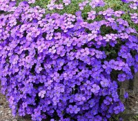 Aubrieta hybrida 'Hendersonii' is a vigorous variety that is smothered by rich lilac-purple flowers for several months in spring.