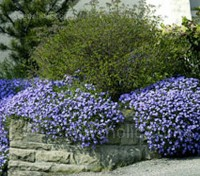 Aubrieta deltoidea 'Royal Blue'