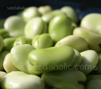 Broad Bean Witkiem is perfect for early sowings in February and for successional sowing through to May. .
