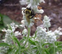 "Salvia farinacea ""Victoria White"" brings bees and butterflies into the garden by the dozen."