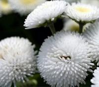 Bellis perennis 'Pomponette White'