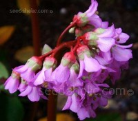 Bergenia cordifolia is one of the most useful of all plants and worthy of a place in any garden.