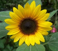 Helianthus annuus 'Big Smile'