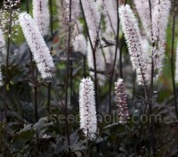 Actaea simplex, formerly Cimicifuga simplex 'Atropurpurea' is an exceptionally beautiful selection.
