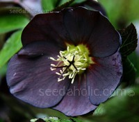 Hellebore Black Beauty is a choice variety. The deepest plums and purples open from slate coloured buds.