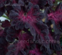 Coleus blumei, 'Black Dragon'