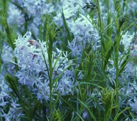 From a distance the steely blue flowers of Amsonia hubrichtii have an almost lily-like appearance.
