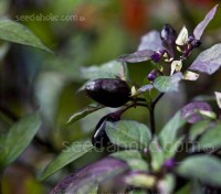 Chili Pepper 'Filius Blue' is one of the most beautiful of both ornamental and edible peppers.