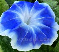 Ipomoea nil 'Blue Picotee' produces large, ruffled cobalt-blue blooms