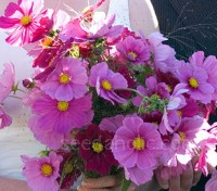 Easy to grow and fast to flower, hardy annuals can be sown directly outdoors where they are to grow.