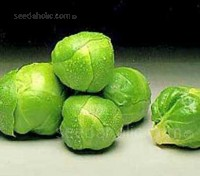 """Brussels Sprouts """"Bedford Darkmar 21"""" is a heavy cropper, giving large dark green sprouts."""
