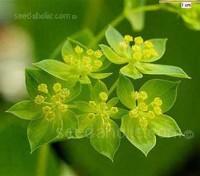 Bupleurum rotundifolium 'Griffithii'