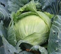 Cabbage 'Brunswick'