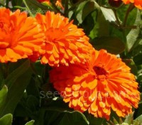 Fiesta Gitana Superior Mix is a dwarf variety that flowers early on vigorous, bushy plants.