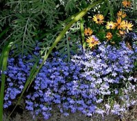 Lobelia 'Cambridge Blue' has many fans who love its soft, subtle, light blue flowers.