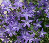 Perhaps the favorite Campanula of many gardeners is little Campanula porscharskyana. Its violet stars bloom profusely and is simply charming.