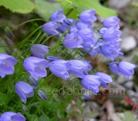 Campanula pusilla is distinguished by its production of enormous numbers of very elegant, lavender-blue bell-shaped blooms.